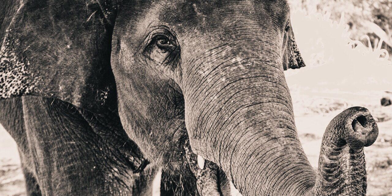 """""""Wszystko słoniowe – oprócz pamięci"""" – ciekawostki o słoniach, które warto zapamiętać"""